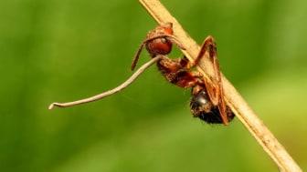Zombie-svampen dræner myren for næring og dræber den. Bagefter lader den så en lang svampestilk vokse ud af myrens hoved, der efterhånden danner en svulmende kapsel fyldt med svampesporer, der regner ned myretuen . Foto: Katja Schulz / Flickr