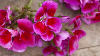 Årets Pelargon 2020 - en veritabel färgexplosion - Pelargonium  hortorum TANGO 'Deep Rose with Eye'
