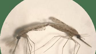 Två Anopheles-myggor under parning. Den vänstra är en hane och den högra en hona. Foto: Melika Hajkazemian