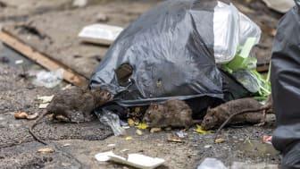 Skräp föder råttinvasion i staden