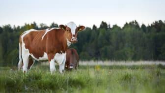 Nötkött och klimat - fakta om svenska nötkreatur och deras påverkan på klimatet