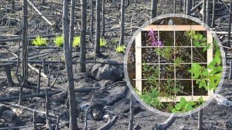 Bara några veckor efter branden i Västmanland började de första växterna återvända. Vegetationen har studerats i provrutor på hyggen i området. Foto: Lena Gustafsson (SLU).