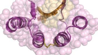 Interaktion mellan affibody-molekylen (lila) och amyloid beta (orange). PDB.org: 2OTK.