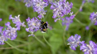 HJELP POLLINATORENE: Hjelp bier og humler i gang ved å så og plante pollinerende planter som de liker. Foto: Anna Lind Lewin
