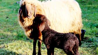 Vor der Schur: Elternschaf mit Lamm (Foto: Sebastian Jüngel)