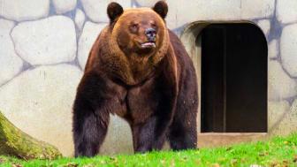 Björnhanen Glok har vaknat ur sitt ide.