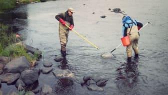 HaV inför nya regler för harr och öring i Norrbotten och Västerbotten