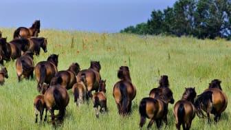 13 steder i Danmark har man sat vilde heste ud. (Foto: Morten Juhl/Ritzau Scanpix)
