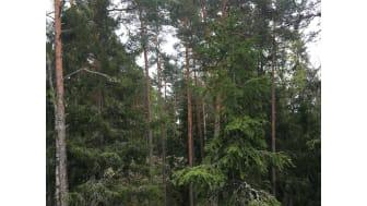 Naturskog barrblandskog