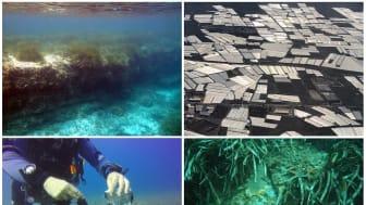 """Höga koncentrationer av mikroplast har samlats i sjögräsbotten utanför spanska Almería vid Medelhavet där växthusodlingarna kallas """"the sea of plastic"""". Forskarna studerar ackumulationen av mikroplast över tid. Foto: Miguel Ángel Mateo, Diego Moreno"""