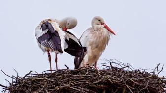 Storkparet har nu återvänt till sitt bo på ladugårdstaket i Skånes Djurpark.
