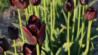 Tulpanen 'Tofta' är en liten tulpan som är mörkt röd, i vissa ljusförhållanden nästan svart. Tulpanen kommer från en gård på Gotland, söder om Visby.