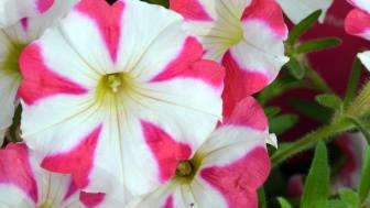 Visst, det är en blomma, men ser du mönstret i form av hjärtan?!
