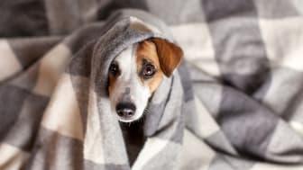 Många hundar mår dåligt av smällandet på nyårsafton.