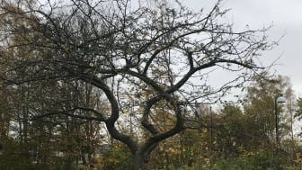 Trädflytt 3