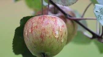 Äppeldagar Vallby Friluftsmuseum