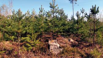 De svenska skogen binder varje år in 160 miljoner ton koldioxid. Foto: Kjell Andersson