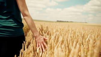 Mondelez_Sustainability Wheat2.jpg