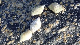 Purpursnegler er vanlig i fjæra på steiner og svaberg utaskjærs i bølgeeksponerte områder langs hele norskekysten. Sneglen spiser rur, blåskjell og snegler. Purpursneglen er viktig for økosystemet i fjæra. (Foto: Lise Tveiten, NIVA.)