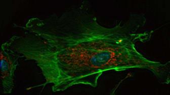Endotelcell där mitokondrierna är färgade i rött och cellkärnan blå. (från Wikimedia https://en.wikipedia.org/wiki/Cell_(biology)#/media/File:DAPIMitoTrackerRedAlexaFluor488BPAE.jpg)