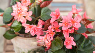 Begonia x hiemalis 'Ceveca'