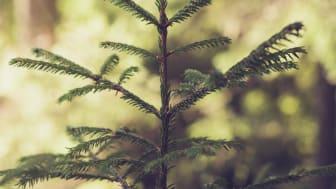 Ska vi spara träd i skogen så att andra kan fortsätta elda fossilt?