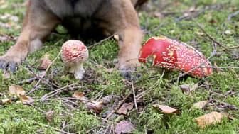 Flugsvampen är en av svamparna som är giftig för våra husdjur!