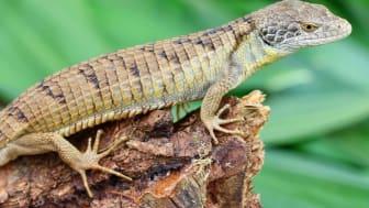 Den nyfundne trædrage er et eksempel på, hvorfor det er vigtigt at bevare de tilbageværende vilde tropiske skove, da arter ellers risikerer at forsvinde for altid, før vi overhovedet har lært dem at kende. Foto af Adam Clause