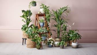 Värinokkonen eli isokirjopeippi on syksyn sisäkasvisesongin trendikasvi – Kuusi kymmenestä suomalaisesta ostaa kotiinsa mieluiten viherkasveja