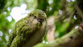 KakapoNY.jpg