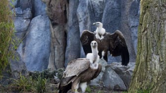 Gänsegeier in der neuen Freiflug-Voliere im Zoo Leipzig