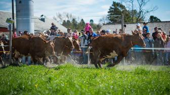 Glade kyr på kuslippet på Skjetlein vgs i 2017. Foto: Lars Stavnes