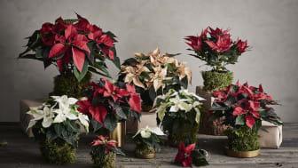 Kysely: Joulukuusi ja joulutähti ovat suomalaisten joulutunnelman ykköset