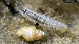Märlkräfta i förstoring, en av flera bottenlevande organismer som ingick i studiens ekotoxikologiska försök.