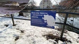"""Råttorna frodas längs Nyköpingsån. De nya insatserna ska få ner populationen till """"en behaglig nivå"""". (Foto: Tobias Johannesson/Carolin Ericson)"""