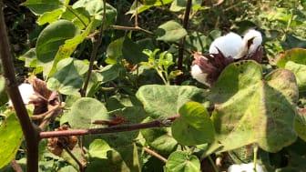 Fairtrade-certifierad bomull är den snabbast växande produktgruppen. Foto: Subindu Garkhel