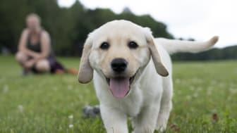Labrador retrievervalp.jpg