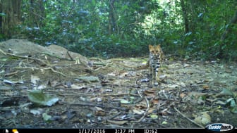 Leopard cat in protected forests of India. According to the new findings only 8 percent of its adequate habitat is currently covered by protected areas. Photo credits: André P. Silva, Surabhi Nadig and Navya R