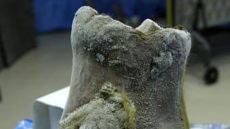 Fot från ullhårig noshörning