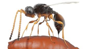 Insektspuppor med parasitsteklar i är första fossilet som visar parasiters evolution, visar ny forskning från Naturhistoriska riksmuseet