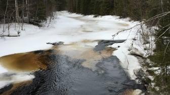 Sävarån på våren under islossning. Foto: Lina Polvi Sjöberg