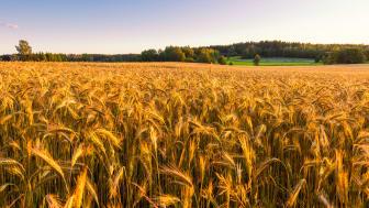 Majoriteten av vetet till Santa Marias tortillabröd odlas i Sverige.