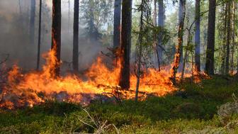 Naturvårdsbränning används ofta för att restaurera skog. (Foto: Joakim Hjältén, SLU)