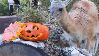 Halloween im Zoo Leipzig: Guanako am Kürbis - Foto: Zoo Leipzig