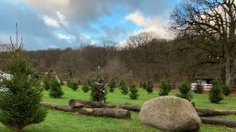 50 julgranar har flyttat in i julgranshagen och väntar på att bli pyntade. Här kan julens gäster dansa familjevis runt granen.