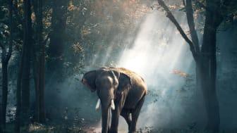Elefanter er en del af skovens økologi. De spreder frø og søger for den naturlige succession ved at hærge skoven på den gode måde.