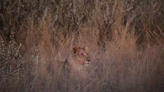 Lejen 3 utanför Etosha Nationalpark i Namibia