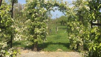 Kiviks Musteri öppnar sina blommande äppelträdgårdar med fotoutställning om pollinatörer