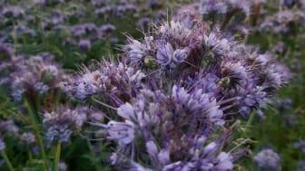 Blommande honungsört i åkerkanten
