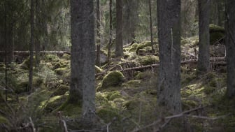 Hur mår den svenska skogen? Digitalt föredrag 4 maj. Foto: Bengt Olofsson